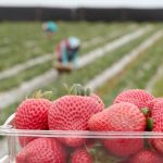 Safety at Work on California Strawberry Farms